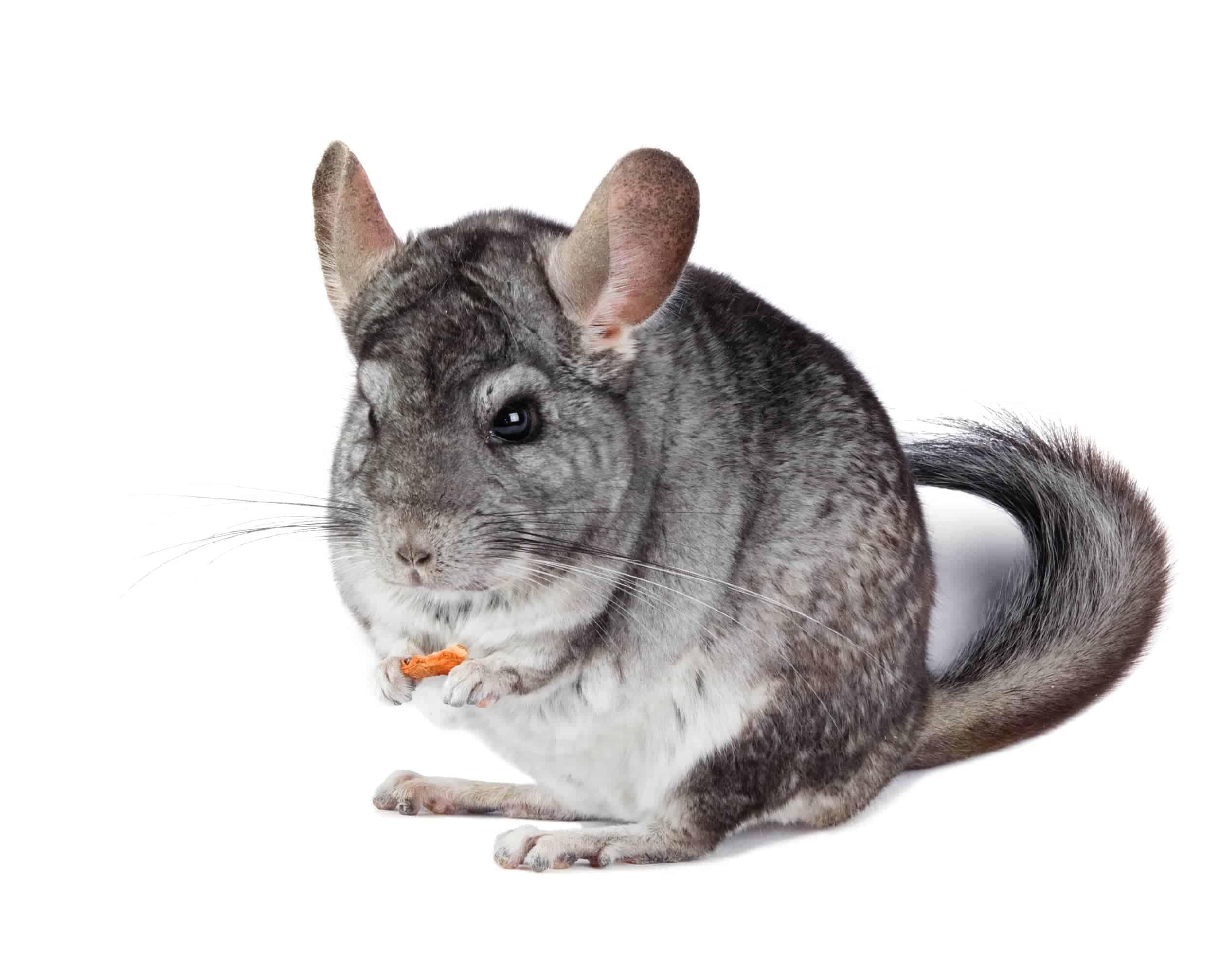cute gray chinchilla